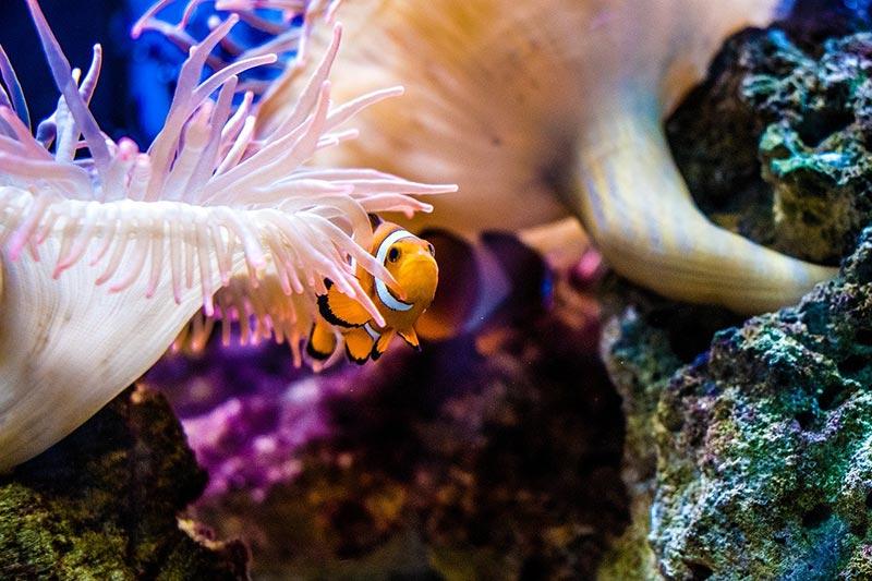 Clown Fish in Best dive sites in Koh Tao