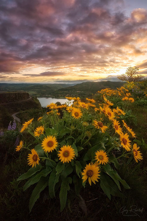 Daisies - Wildflowers of PNW | Photography by Gary Randall