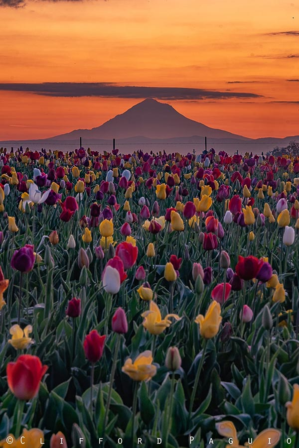 Sunrise at Tulip Farm with Mount Hood