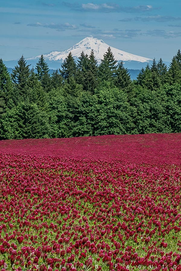 Crimson Clover with Mount Hood backdrop in Oregon