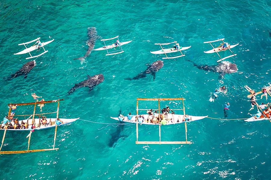 Whale Shark Watching in Oslob, Cebu Island